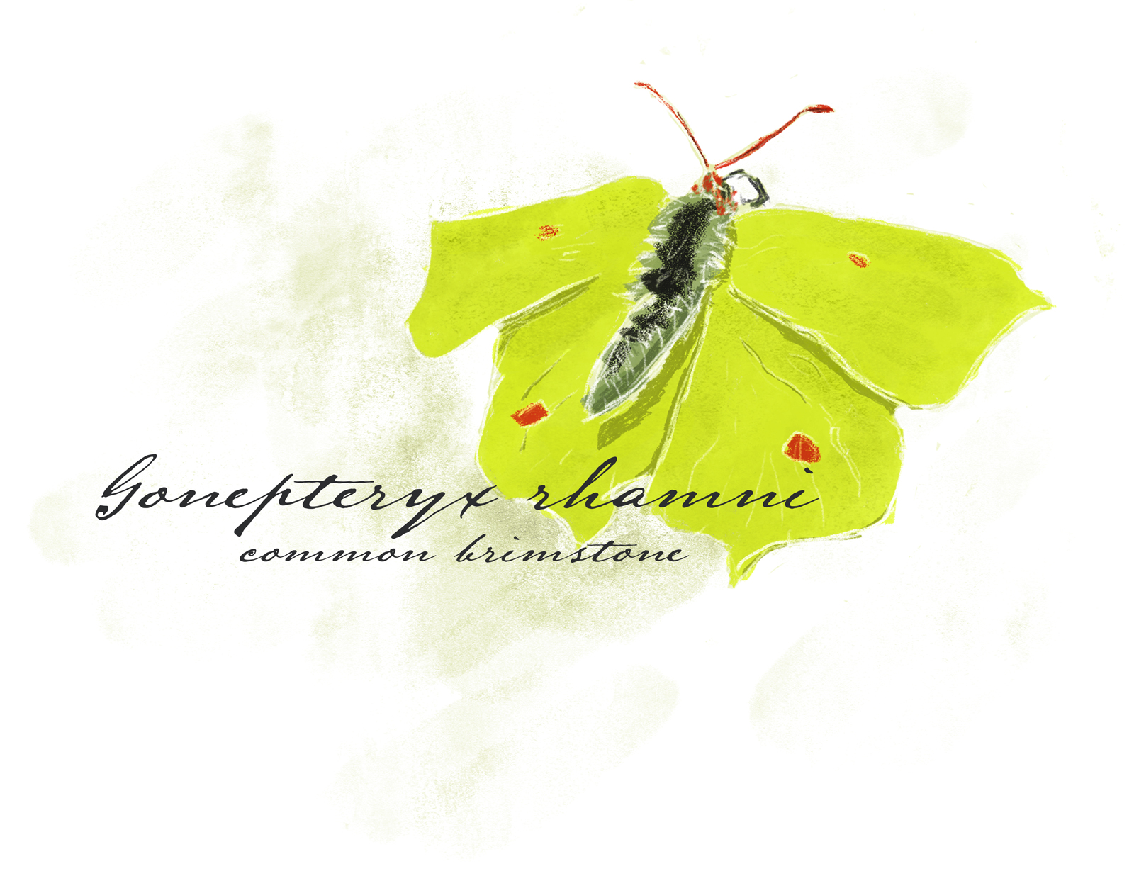 painting of a common brimstone butterfly
